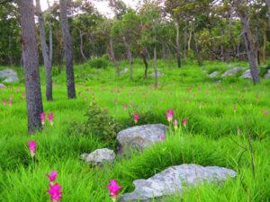 อัปเดตภาพทุ่งดอกกระเจียวอุทยานแห่งชาติไทรทอง บานสะพรั่งกลางสายหมอก